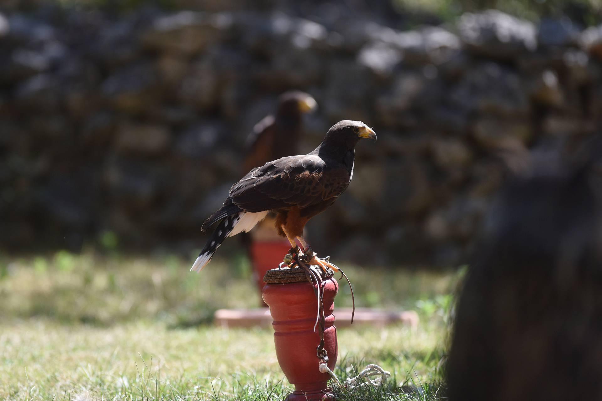 Sokolari  ponosni na tajanstvene nebeske lovce koji žive za let