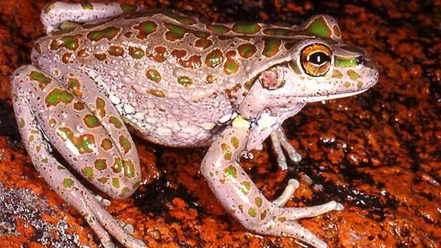 Kao proždrljivi strojevi: Najezda žaba opet uništava ekosustav