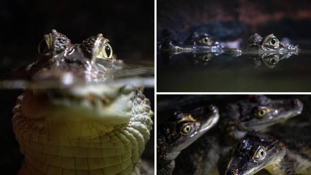 Nova atrakcija u Puli: Stiglo je osam malih kajmana naočara