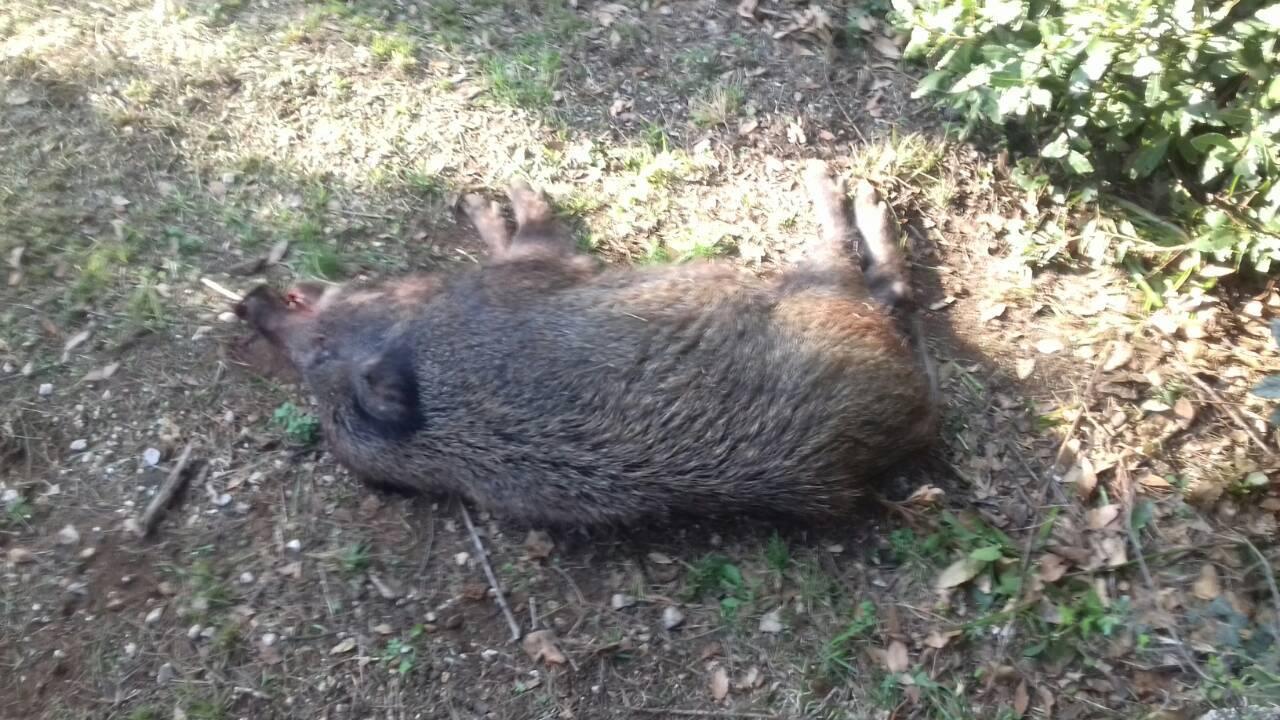 Divlja svinja ušetala u dvorište vrtića u središtu Crikvenice