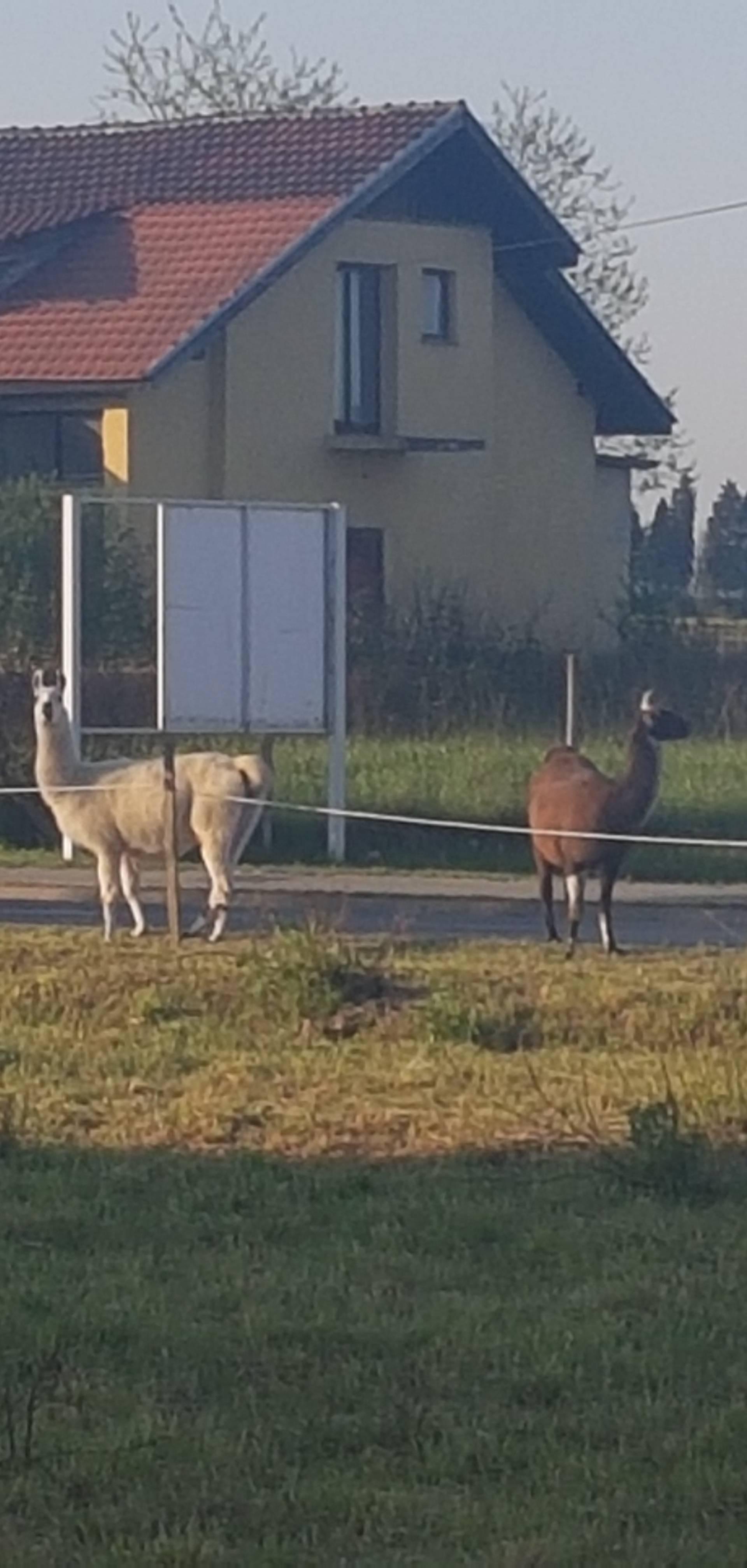 Iznenadile Bjelovarce: 'Ljame   su nam  pobjegle iz cirkusa...'