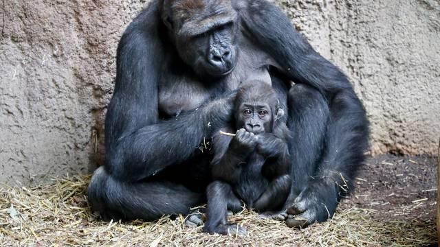 Gorilla baby Kianga at Leipzig zoo