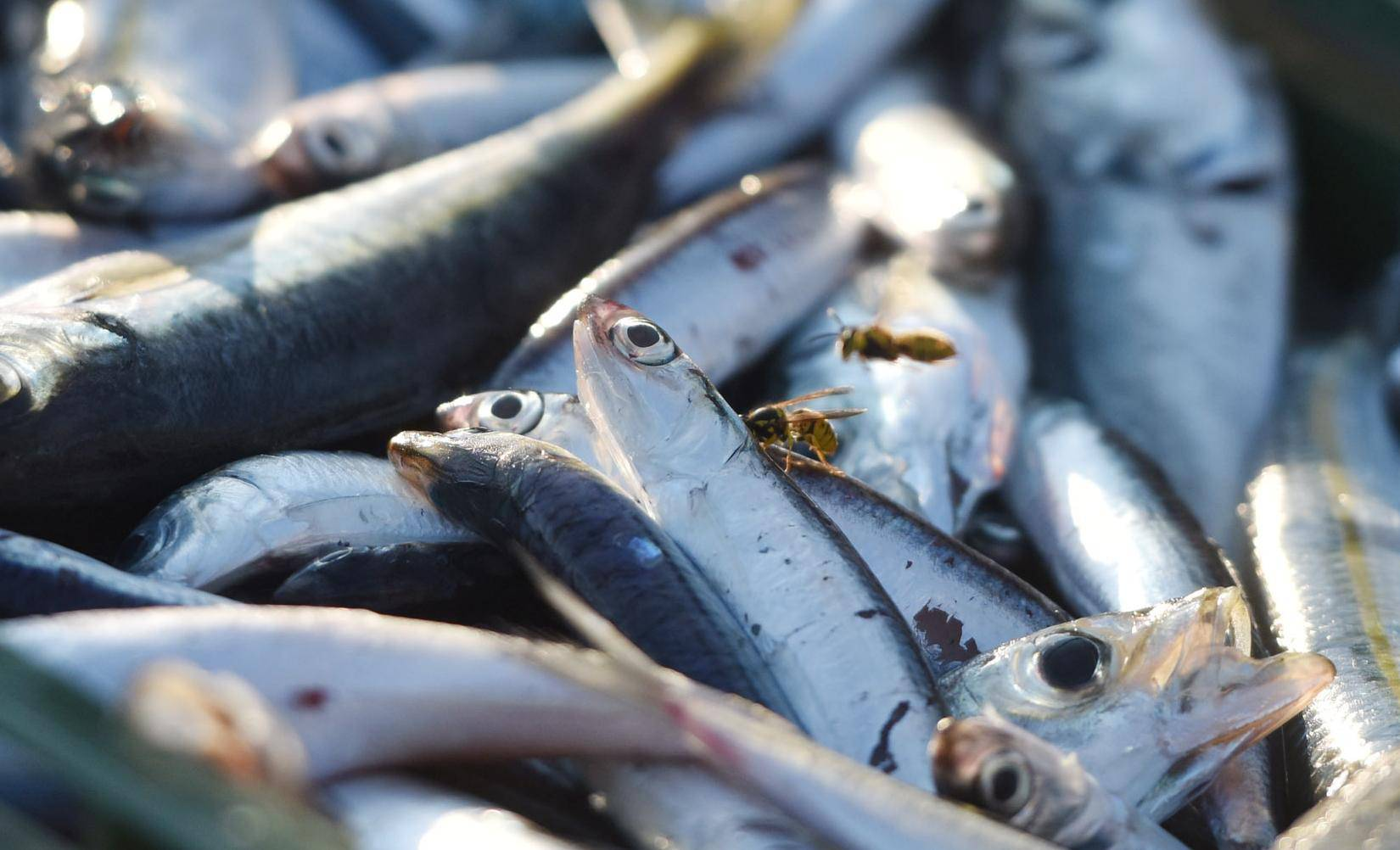 Tribunj: Ribari zadovoljni noćašnjim ulovom plave ribe