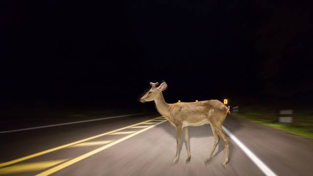 Deer walking on the road at night in the forest.