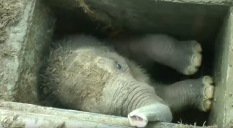 Nestašni je slonić upao u pravu nevolju kad je upao u - šaht