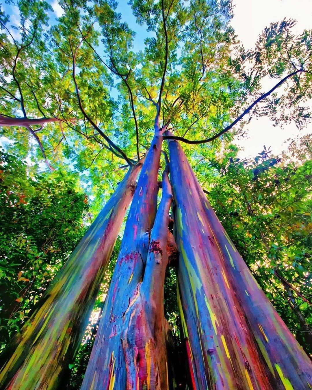 Eukaliptus dugino drvo