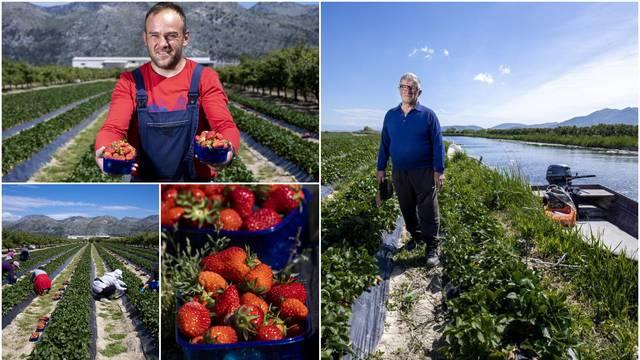 U dolini Neretve samo barkom mogu do polja jagoda: 'Ovo ti je raj na zemlji, radit ću do stote'