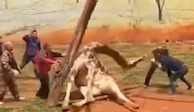 Žirafa zapela između grana u ZOO-u, slomila vrat i uginula