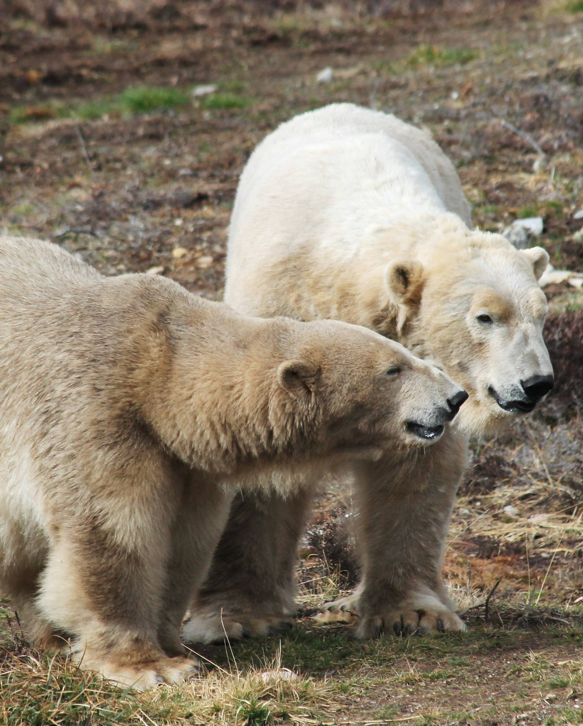 Polar bears Victoria and Arktos interact in Highland Wildlife Park in Kincraig