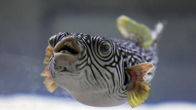 Otrovna riba u Istri: Otrov joj je 1200 puta jači od cijanida... Sad pliva u akvariju s ražopsom