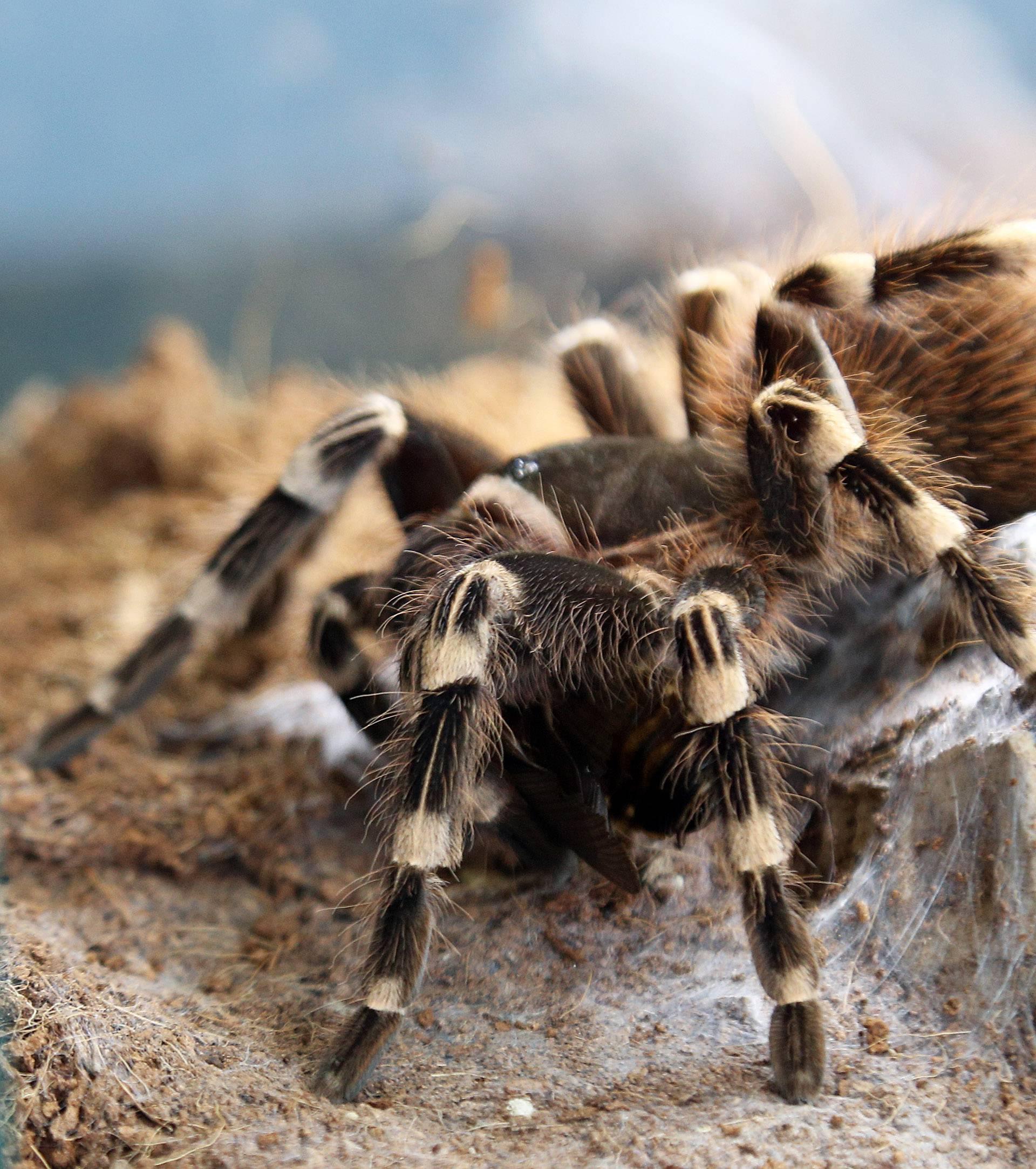 Fascinantne fobije: Veliki medo ne izaziva toliki strah kao pauk