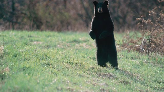Šape u zrak! Uhitili medvjeda koji je napao policajca u Italiji