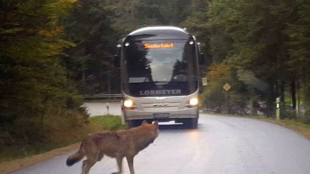 Run-away wolves in the Bavarian Forest