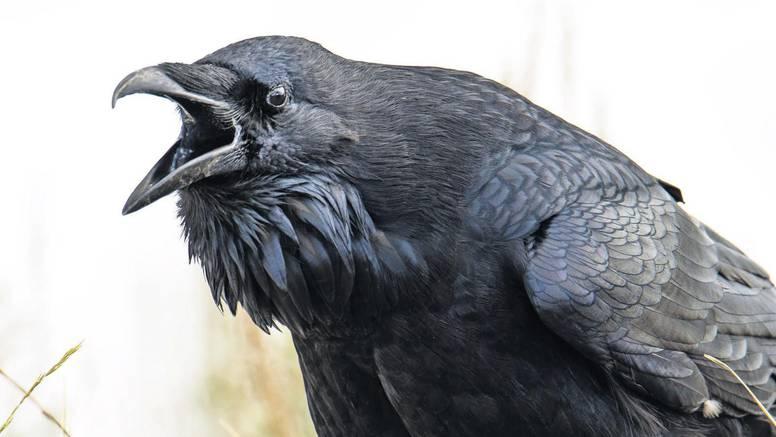 Zagrepčani u strahu od vrana: 'U bolnici sam s lomom noge zbog vrane koja me napala'