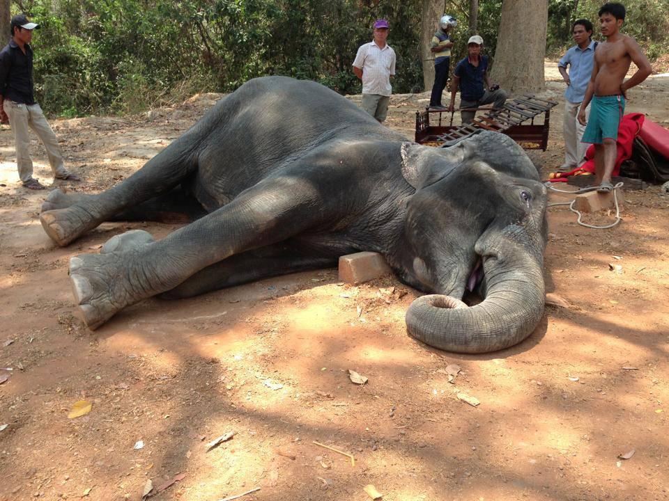Srce nije izdržalo: Tužna smrt slonice nakon života u patnji