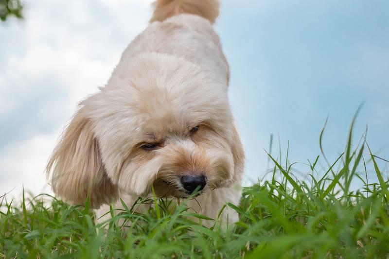 Zašto pas jede travu? Razloga je više, može ukazati na bolest