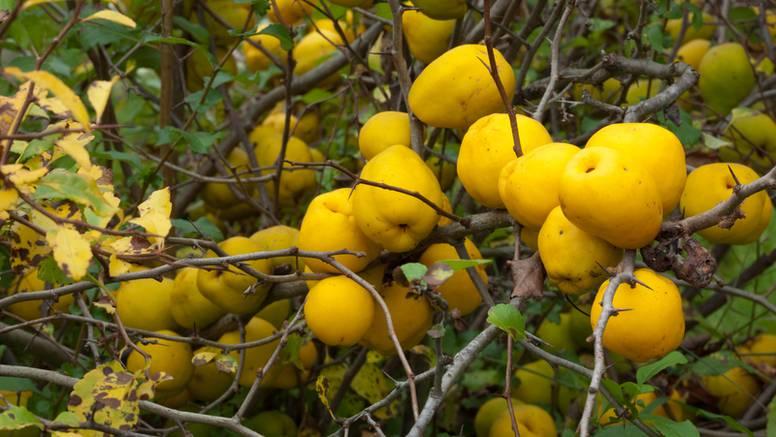 Japanska dunja: Ukrasna biljka od čijih se plodova radi pekmez