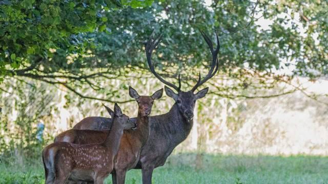 'Bambi-boom' u Međimurju: Martin u manje od dvije godine oplodio više od pet košuta...