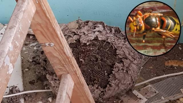 'Na terasi bolnice pronašli smo ogromno gnijezdo stršljenova'