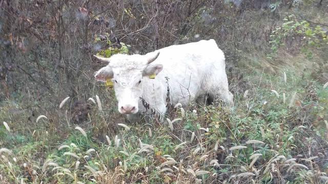 Locirali bika iz Slatine! 'Još ga tražimo, nemojte mu ići blizu jer je naš Joza umoran i gladan...'