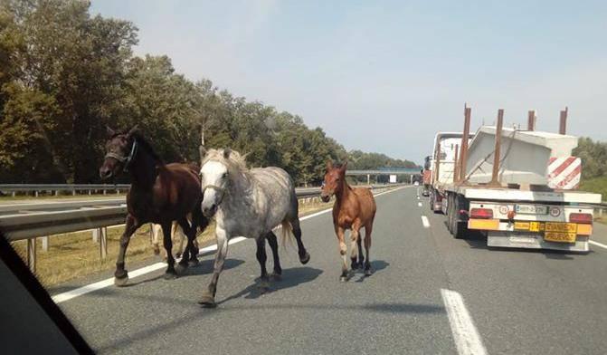 Panika na A3, konji na cesti: 'Kočili smo i micali se desno'
