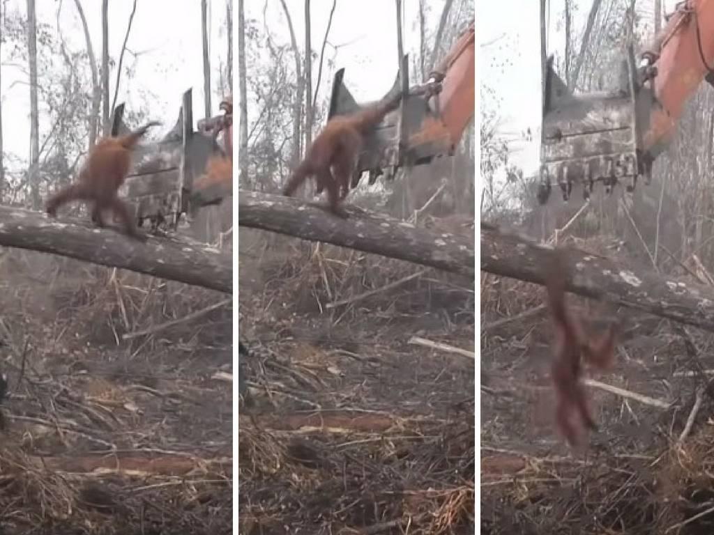 Branio dom: Orangutan napao bager koji mu je srušio stablo