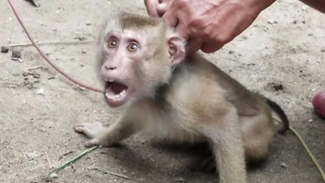 Zaručnica britanskog premijera zabranila bi proizvode od kokosa radi zaštite majmuna
