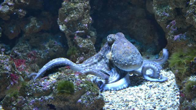 Zbog ovih 8 razloga hobotnice su među najčudnijim bićima