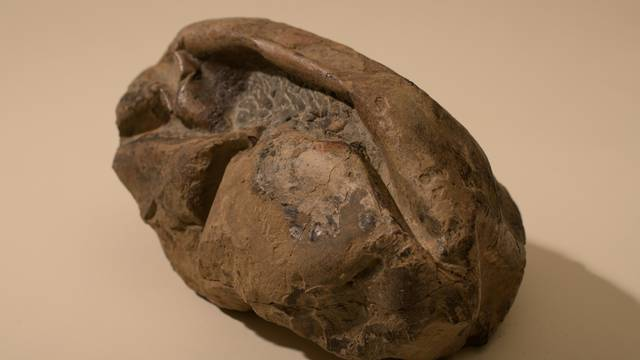 General view of a fossil egg of a marine reptile found in Antarctica