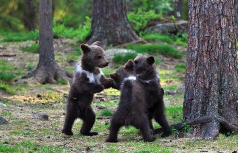 Snimio medvjediće kako plešu u šumi, mislio da mu se priviđa