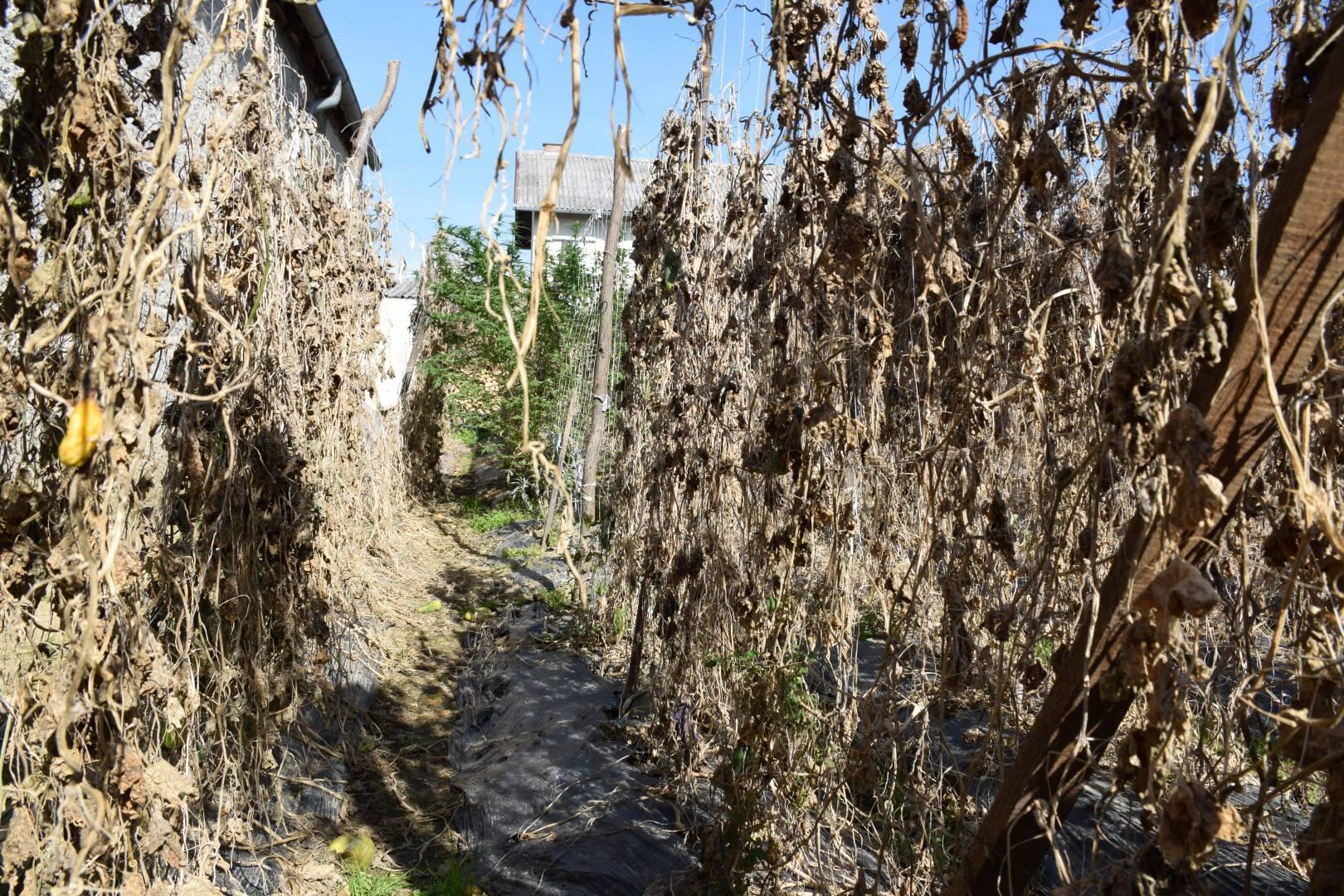 Velika zapljena 'trave': Sadio je u svom vrtu među krastavcima