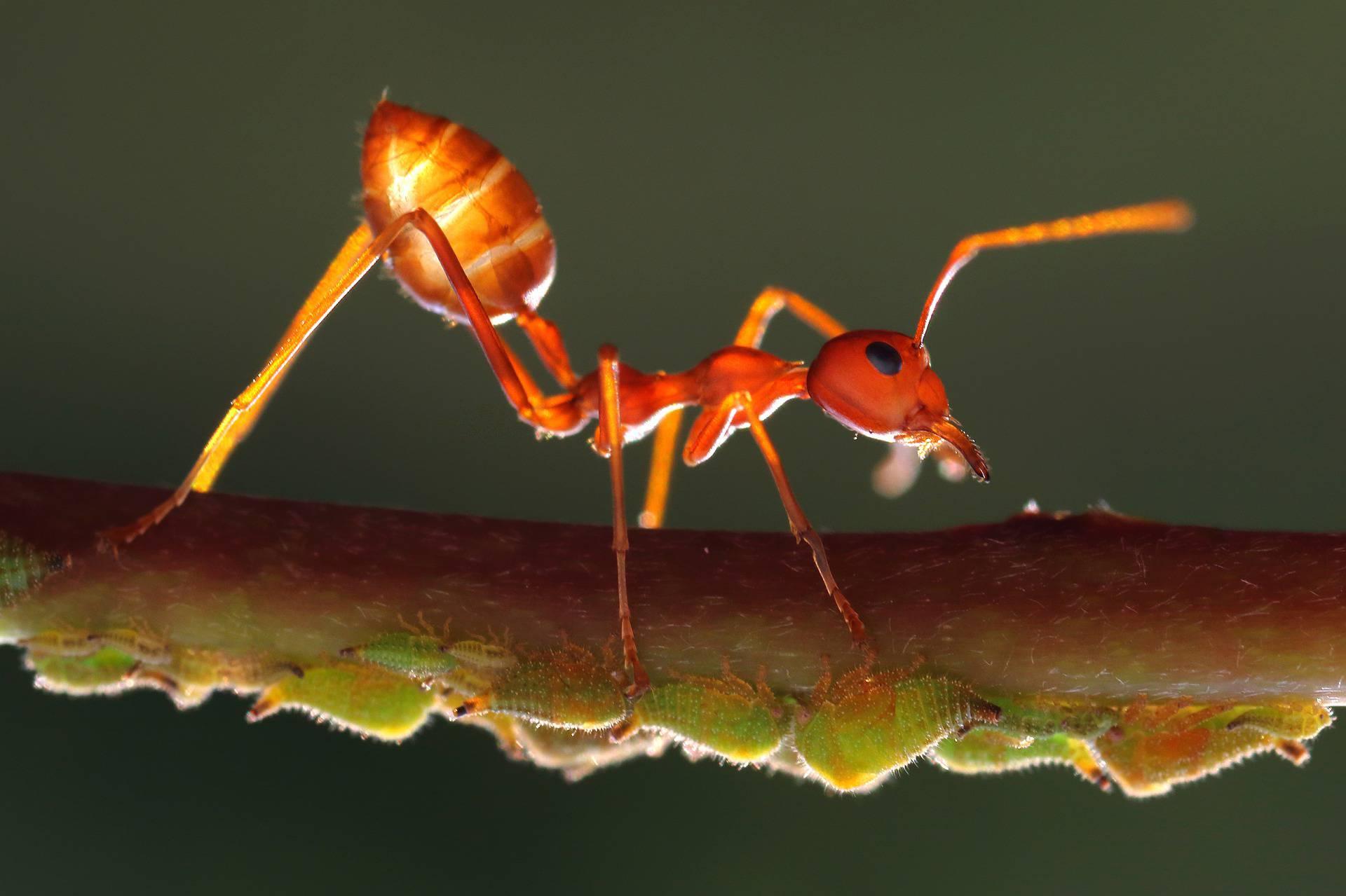 Najezda žutih ludih mrava, pljuju kiselinu i mogu oslijepiti kućne ljubimce