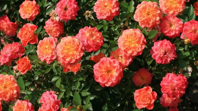 Pravilno orezivanje ruža - za bogati i zdravi daljnji rast i cvat