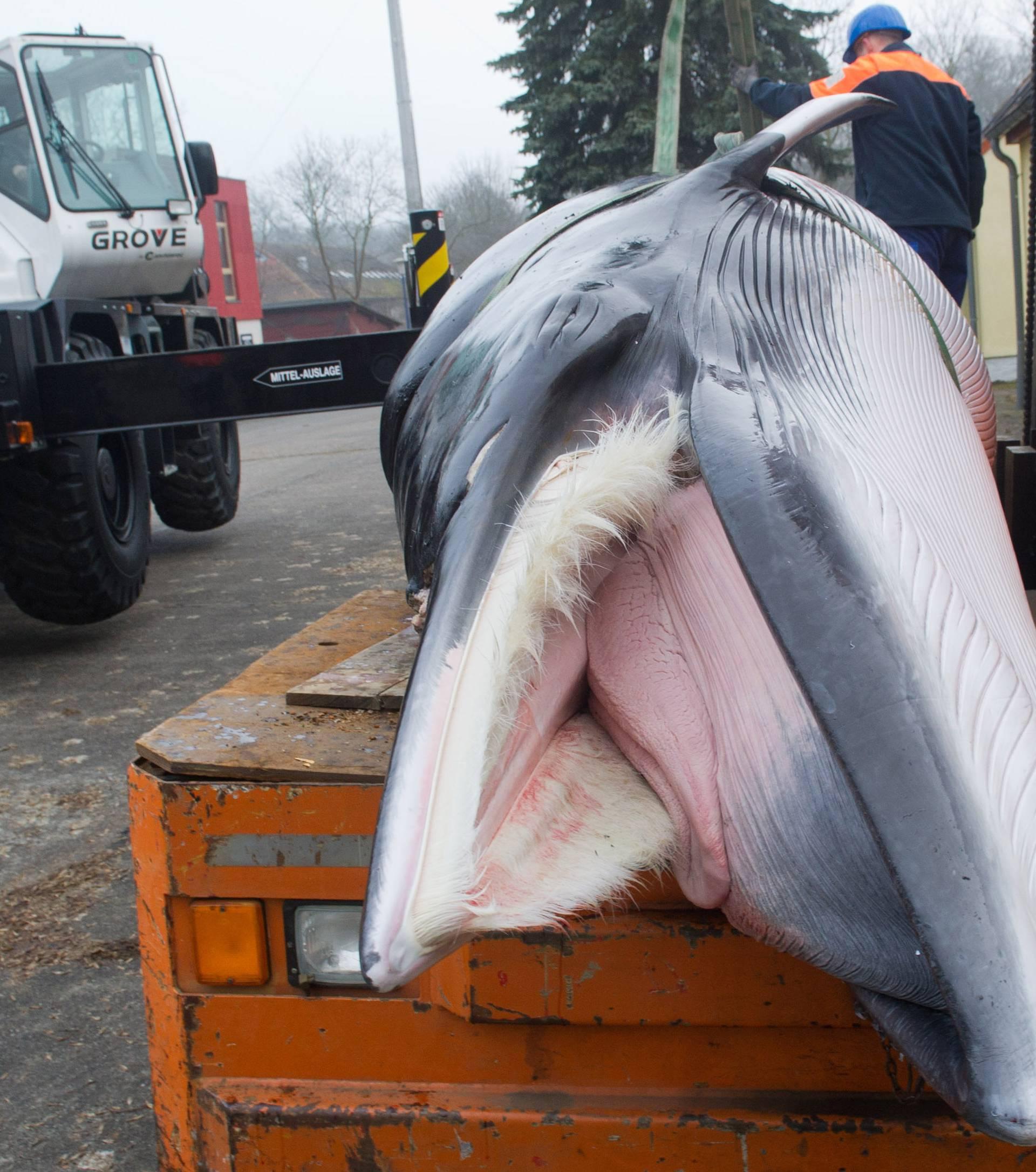Minke whale in the Baltic Sea