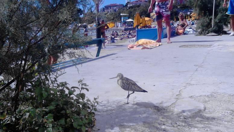 Na Bačvice sletjela ptica, a nije galeb, niti je roda, što li je to?