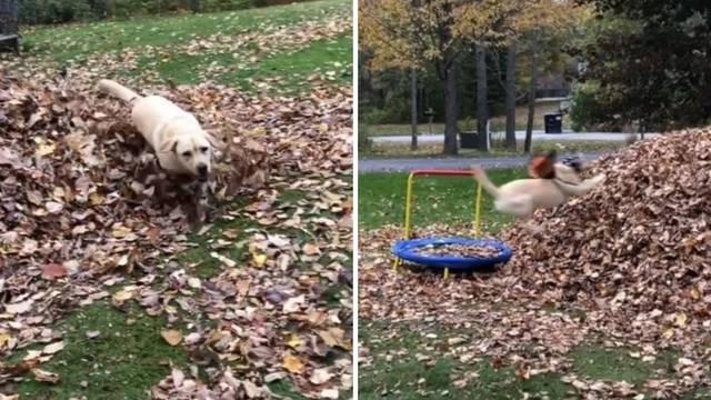 Labradoricu obožavaju tisuće: Ne može odoljeti palom lišću!