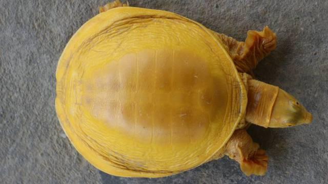 Pronašli su zlatnu kornjaču u Nepalu: Je li to poruka s neba?