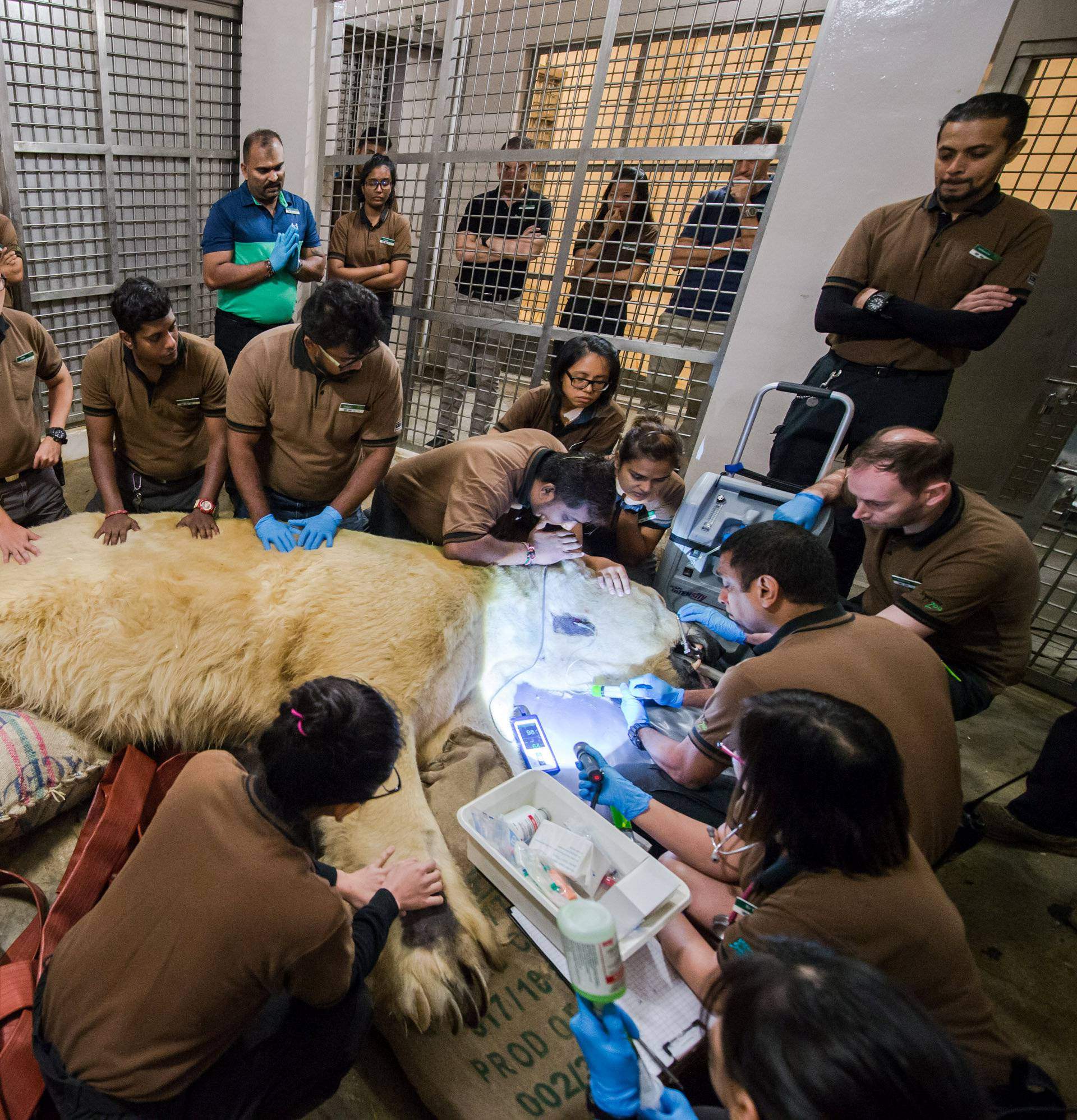 Inuka, Singapore's first born and bred polar bear undergoes a final check up at the Singapore zoo
