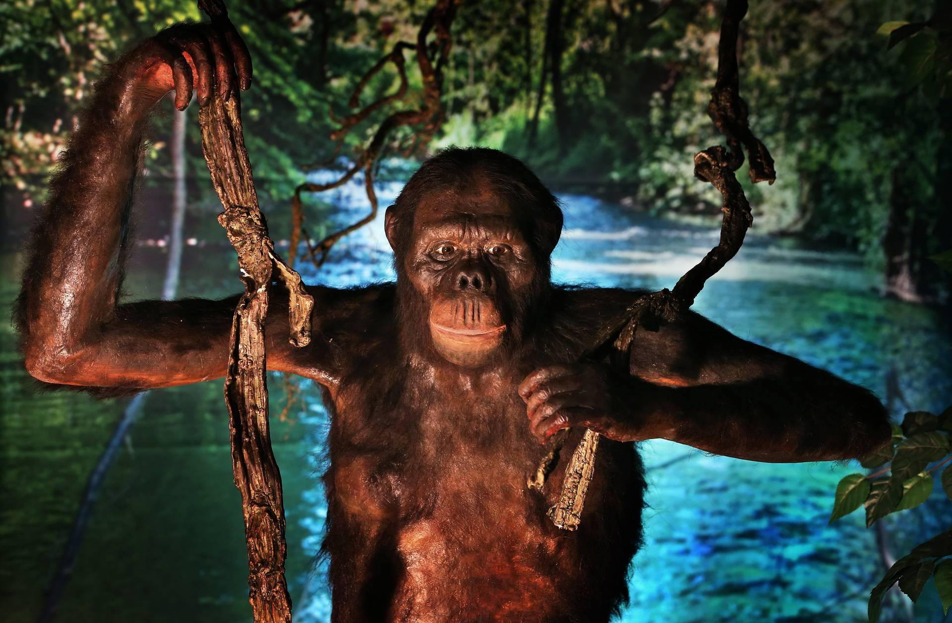 U muzeju je izložena replika majmuna koji je hodao Zemljom prije 11.6 milijuna godina