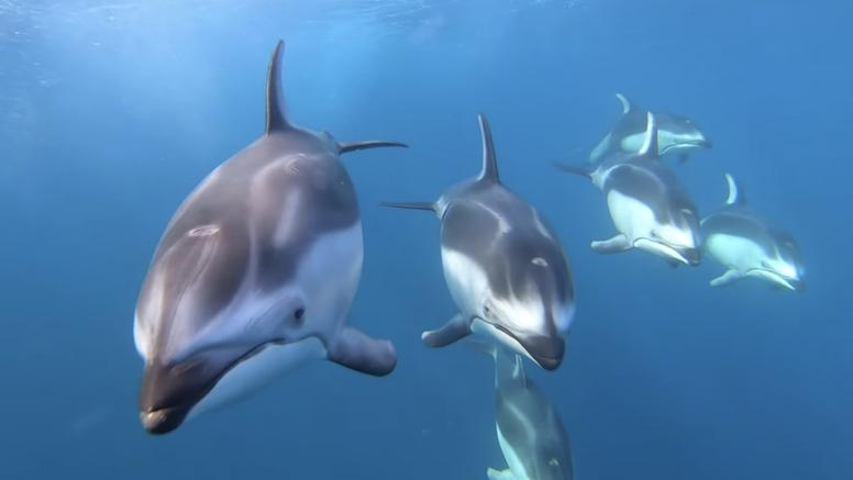 Ples grdosija iz dubina: Majku i bebu sivog kita pratili dupini