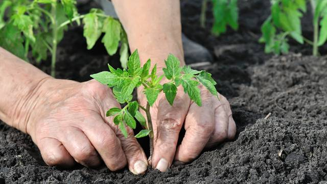 close-up of gardener's hands planting a tomato seedling