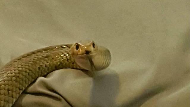Njen ugriz ubija: Opasnu zmiju pronašao u krevetu  ispod deke