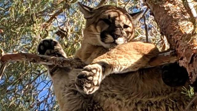 'Halo, trebam pomoć, možete li doći? Na drvetu mi je - puma!'