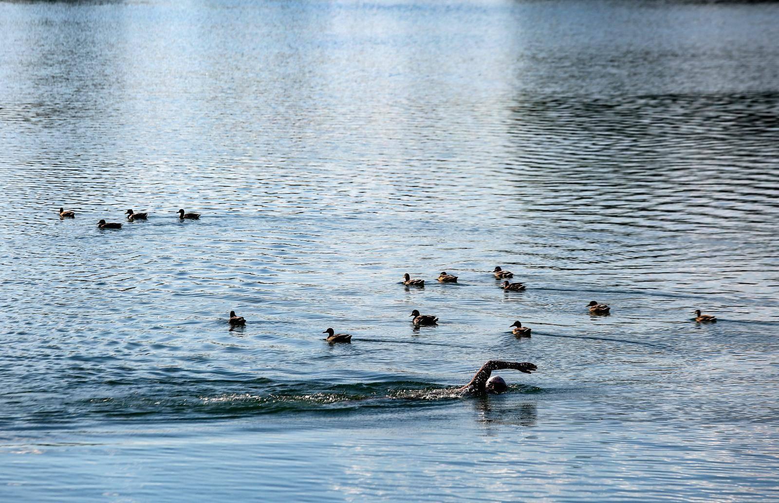 Zagreb: Patke uživaju u kupanju na jezeru Jarun
