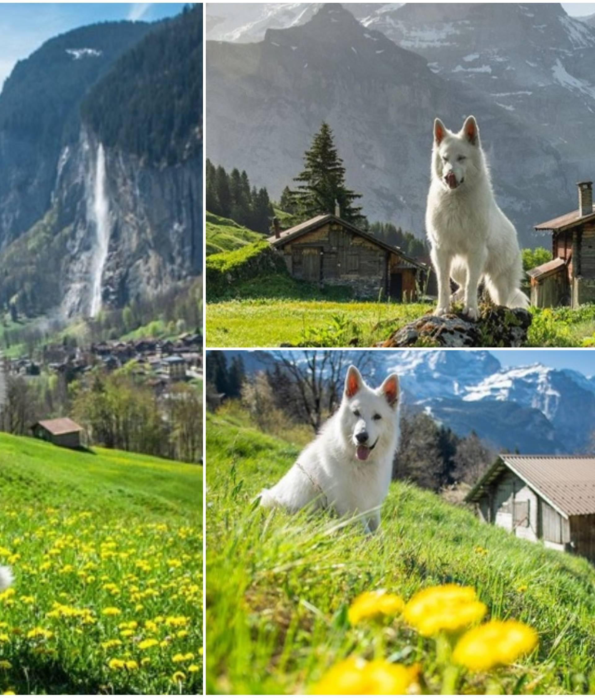 Švicarski ovčar Rasta