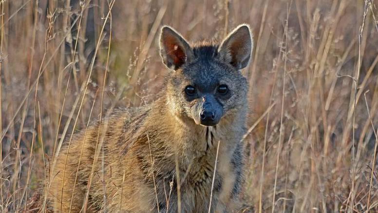 Upoznajte preslatku životinju za koju vjerojatno nikad niste čuli