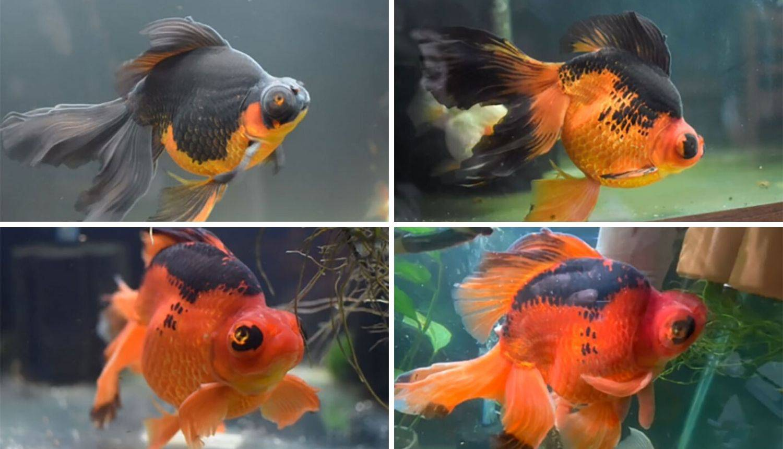 Kupila umiruću zlatnu ribicu koja ima 10 godina i izliječila je