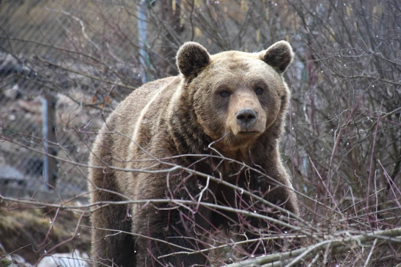 Medvjedi u Kuterevu