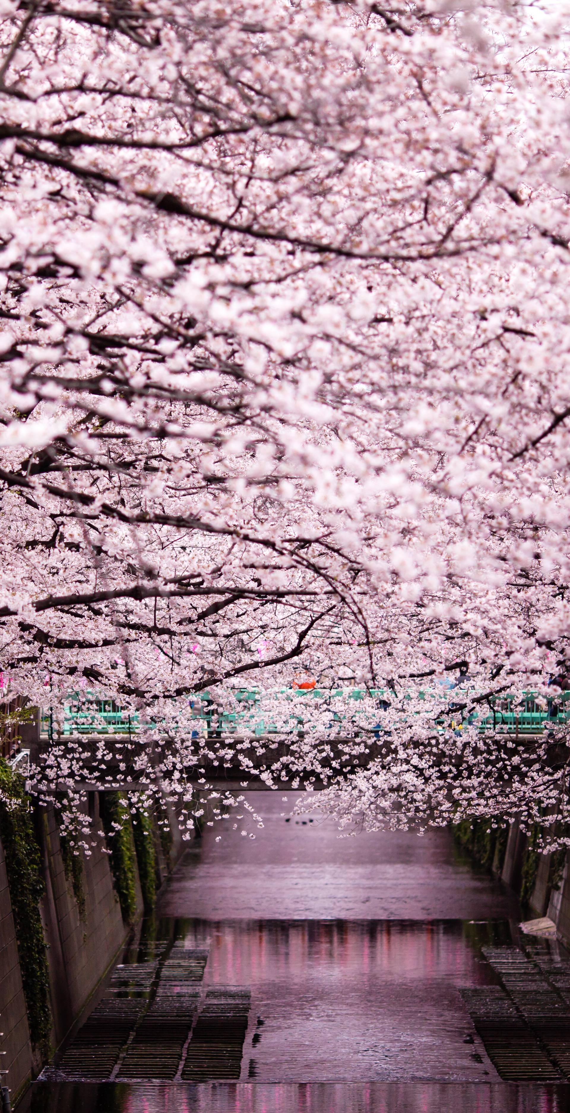 Drvo trešnje  - simbol koji je već stoljećima ogledalo Japana