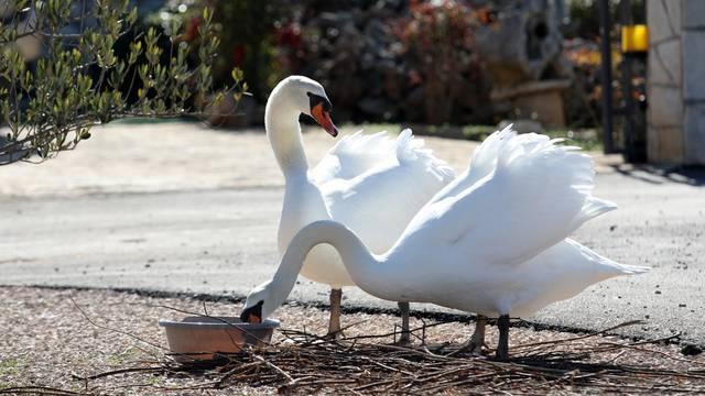 Zagreb: Godinama hrani labudove koji mu dolaze ispred kuće na tri obroka dnevno